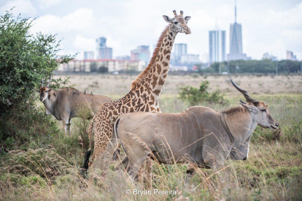 giraffe and eland nairobi national park
