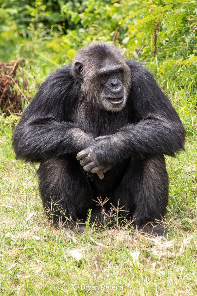 chimp sitting