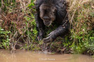 chimp drinking ol pejeta conservancy